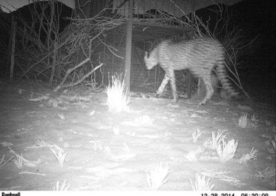 cheetah camera trap