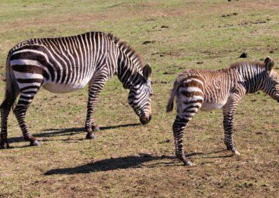 zebra on garden route