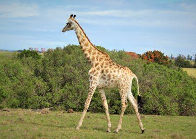 Giraffe_addo