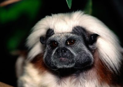 A20Face20Only20Mom20Could20Love20Cotton-top20Tamarin