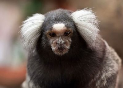 Common-marmoset