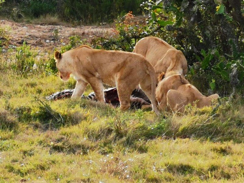 Lions on the 7 Day Garden route tour in South Africa