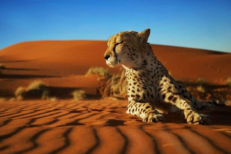 Wild Cheetah in the desert in Namibia