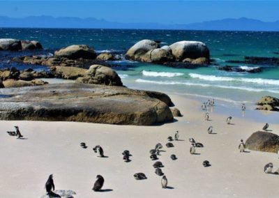 Penguin colony in Simon's town Cape Town South Africa
