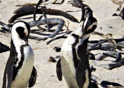 Penguins in Bettys Bay