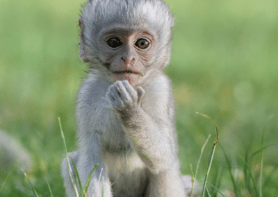 Picture of Vervet Monkey at volunteering program in South Africa