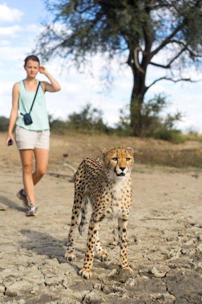 Volunteer enjoying a cheetah walk at the wildlife rescue station volunteering program in Namibia