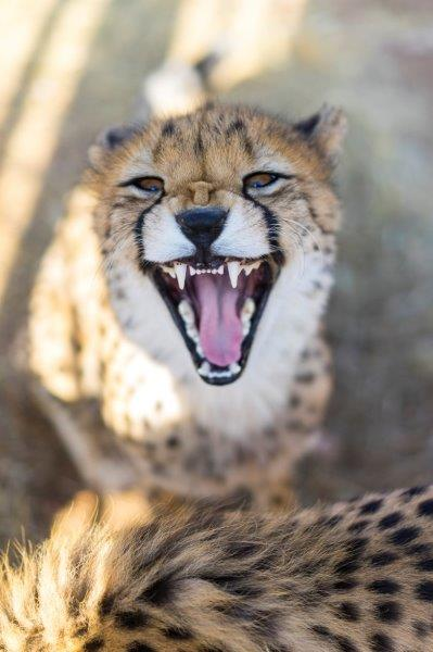 Smiling cheetah at the wildlife rescue station program in Namibia